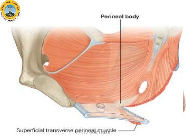 Anatomía de la Región Perineal