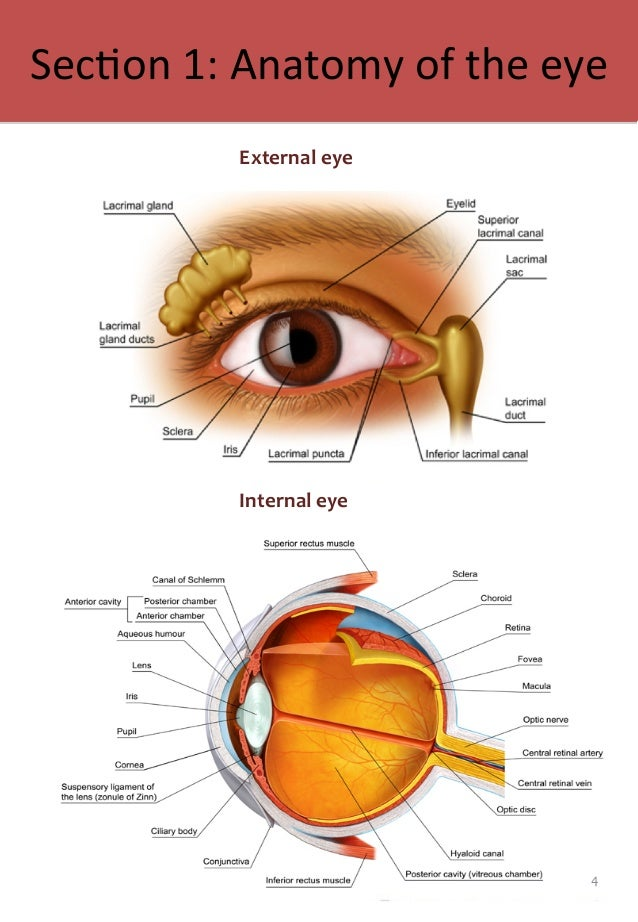 Colorful Anatomy Of The External Eye Sketch Anatomy And Physiology