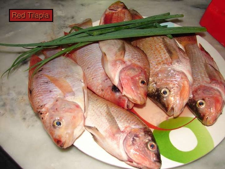 A3 aquaponics filter feed and fish for Is tilapia a bottom feeder fish