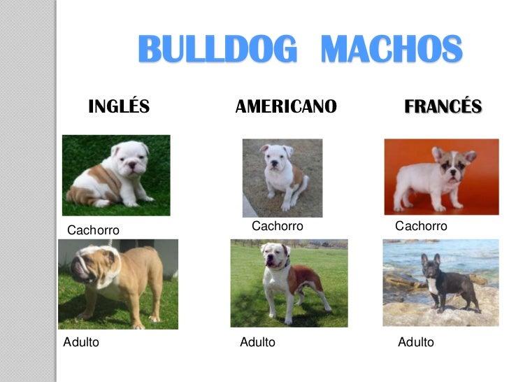BULLDOG MACHOS    INGLÉS     AMERICANO     FRANCÉSCachorro         Cachorro   CachorroAdulto         Adulto       Adulto