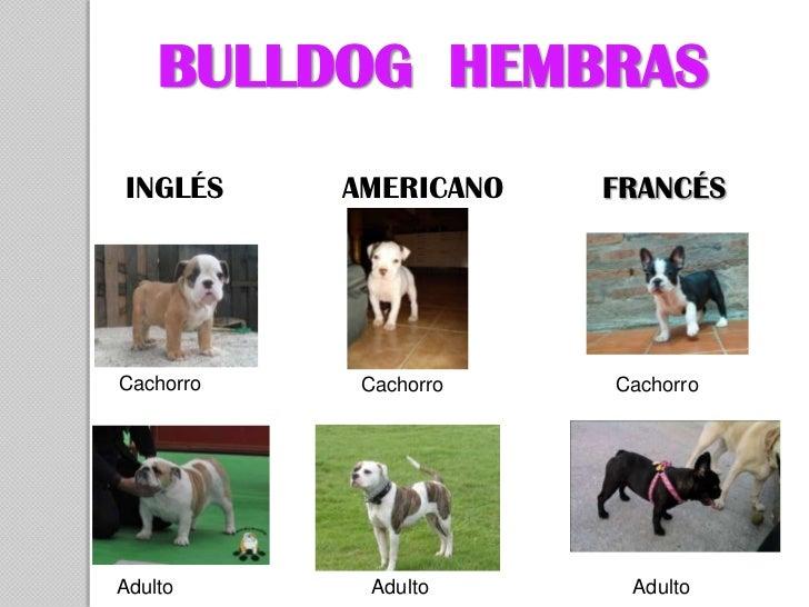 BULLDOG HEMBRASINGLÉS     AMERICANO   FRANCÉSCachorro    Cachorro   CachorroAdulto       Adulto     Adulto