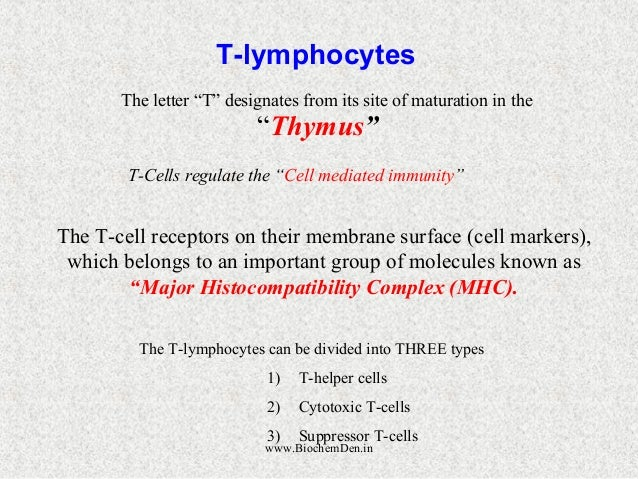 """T-lymphocytes  The letter """"T"""" designates from its site of maturation in the  """"Thymus""""  T-Cells regulate the """"Cell mediated..."""