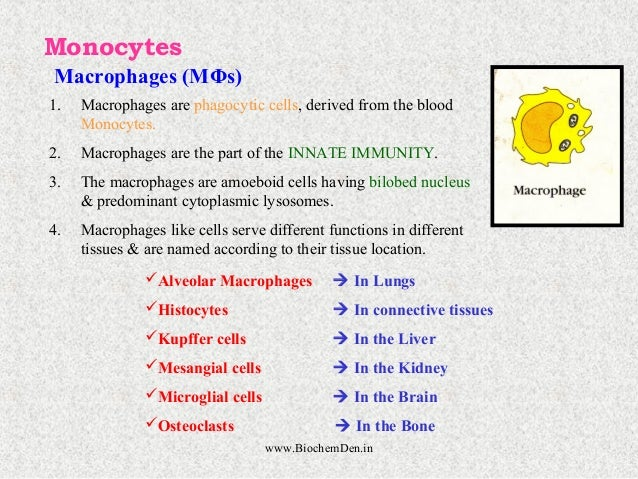 Monocytes  Macrophages (MΦs)  1. Macrophages are phagocytic cells, derived from the blood  Monocytes.  2. Macrophages are ...