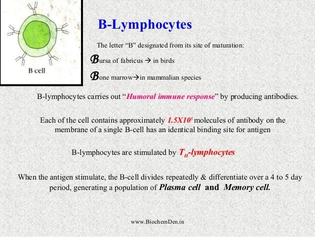"B-Lymphocytes  The letter ""B"" designated from its site of maturation:  Bursa of fabricus  in birds  Bone marrowin mammal..."