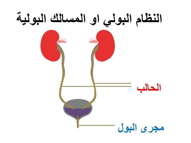 الحالب البول مجرى البولية المسالك او البولي النظام