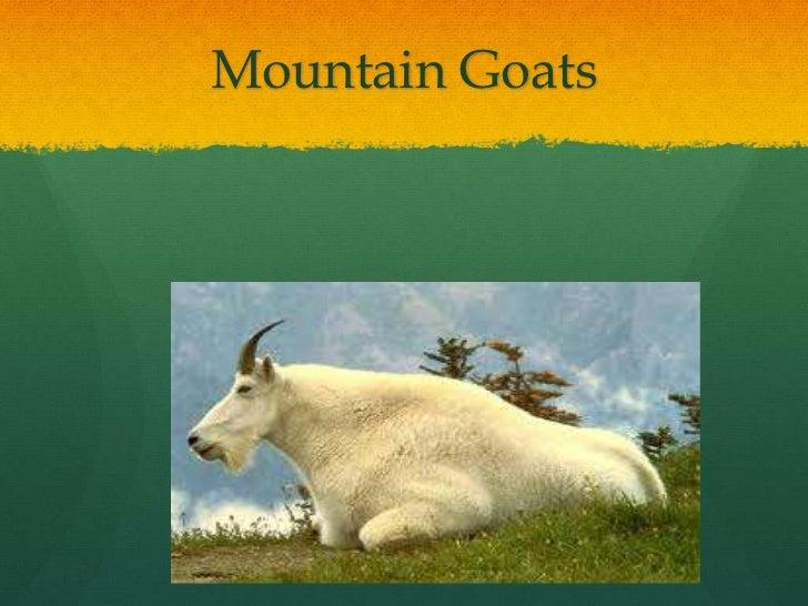 Mountain Goats<br />