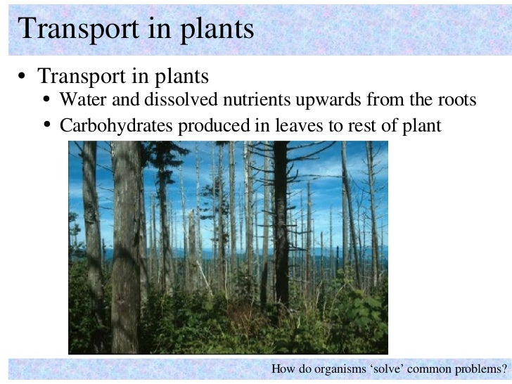 <ul><li>Transport in plants </li></ul>Transport in plants How do organisms 'solve' common problems? <ul><ul><li>Water and ...