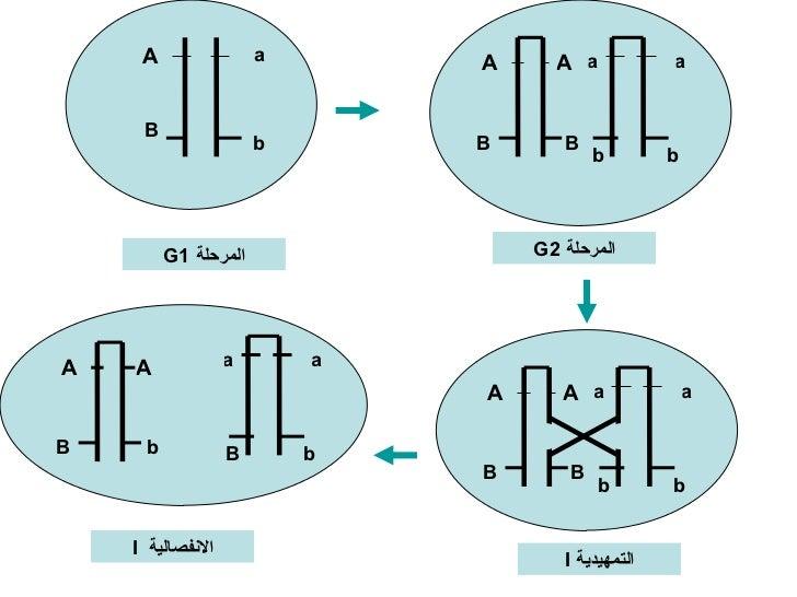 A a المرحلة  G1 B b A A a a المرحلة  G2 B b B b A A a a B b B b التمهيدية  I A A a a B b b B الانفصالية  I
