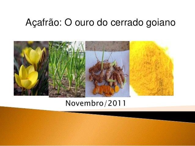 Açafrão: O ouro do cerrado goiano
