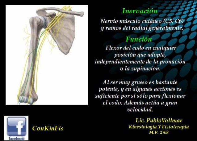 Anatomia Biceps Braquial