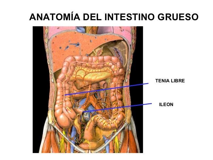 Anatomía Abdomen