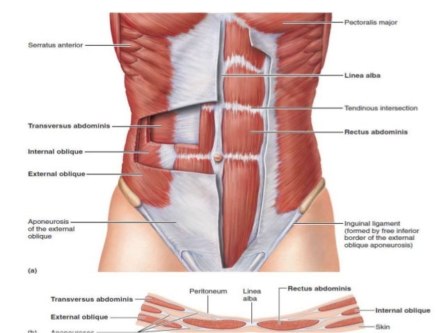 topographic anatomy abdomen, Human Body