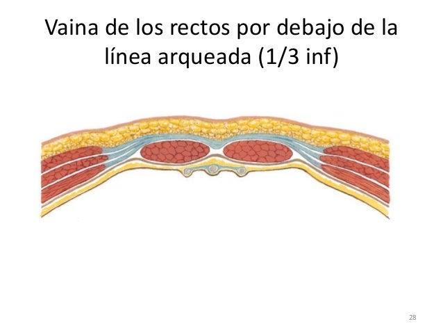 Anatomia Abdomen Diapositiva