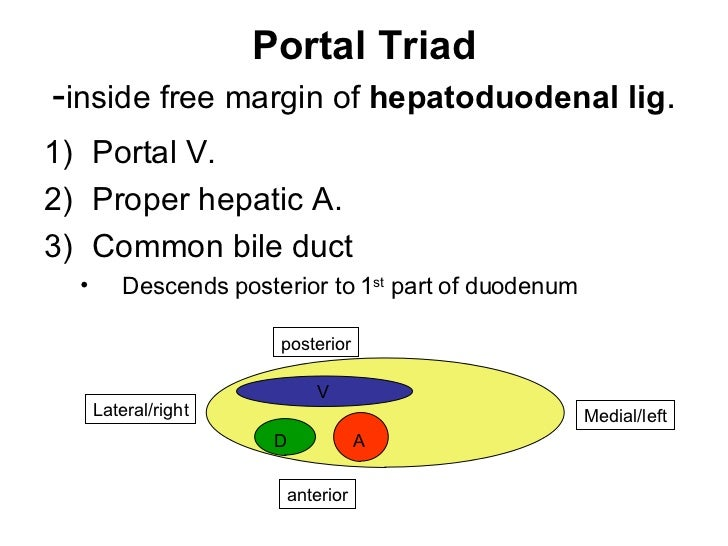 Portal triad anatomy