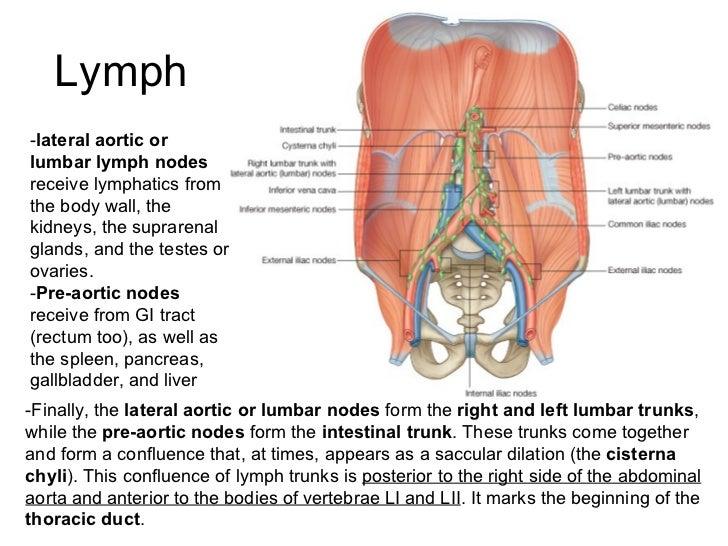 Abdomen, Pelvis and Perineum Anatomy - www.jinekolojivegebelik.com