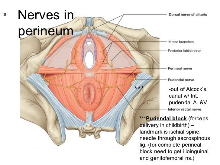 Perineum Diagram Canal - Introduction To Electrical Wiring Diagrams •