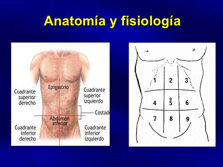 Atractivo Inferior Izquierdo Anatomía Cuadrante Adorno - Anatomía de ...