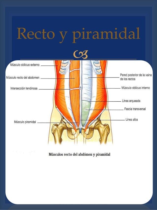 Abdomen Anatomía de Superficie, Divisiones, Pared abdominal, Musculos…