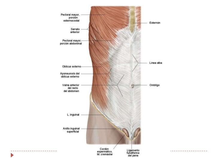 Abdomen y diafragma anatomía