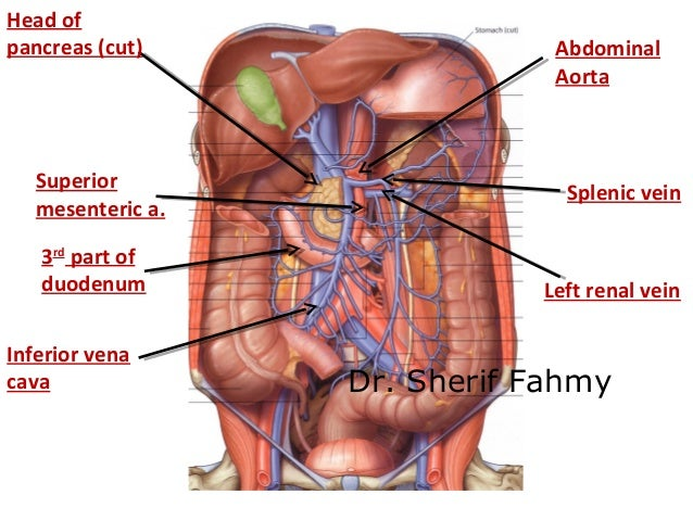 Abdominal Aorta Anatomy Of The Abdomen
