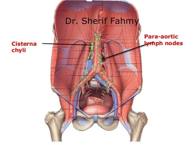 abdominal aorta (anatomy of the abdomen), Human Body