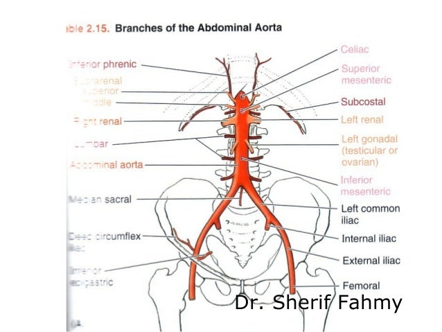 Aorta and its branches anatomy