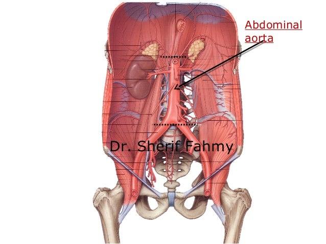 Abdominal Aorta Anatomy Of The Abdomen