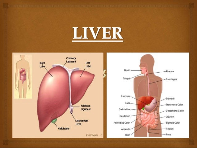 where is the liver located - 638×479