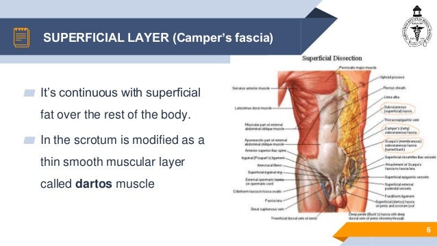 anatomy of anterior abdominal wall anatomy of anterior abdominal wall