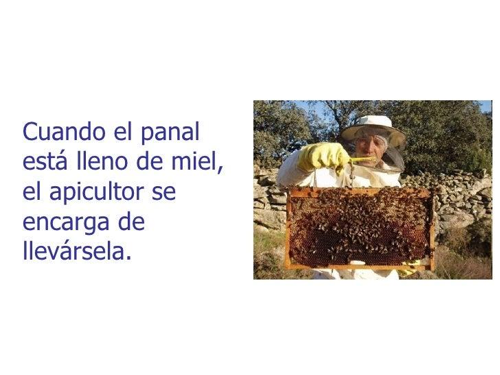 Cuando el panalestá lleno de miel,el apicultor seencarga dellevársela.
