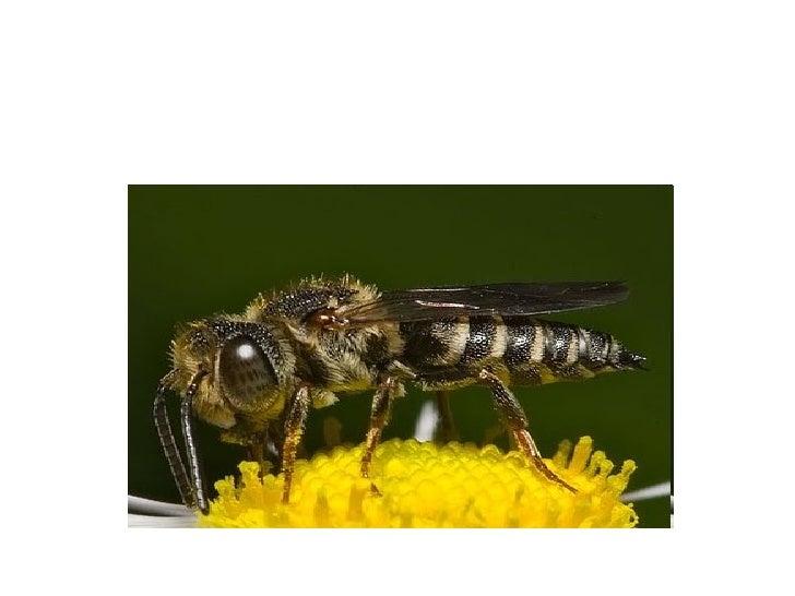 Esta es la abejaReina cuidadapor las abejasobreras.