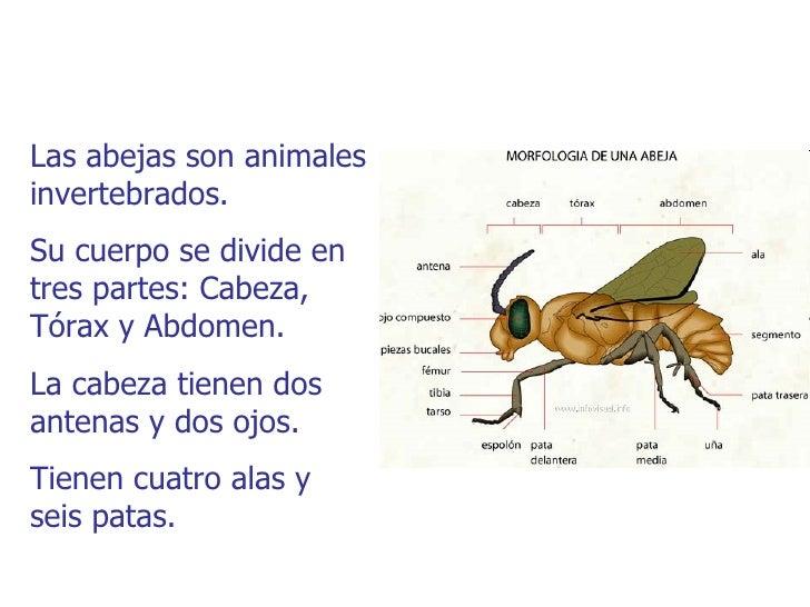 Las abejas son animalesinvertebrados.Su cuerpo se divide entres partes: Cabeza,Tórax y Abdomen.La cabeza tienen dosantenas...