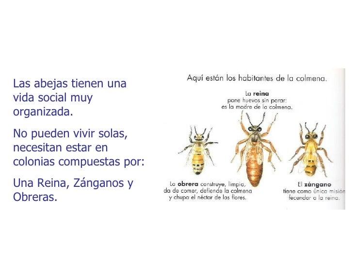 Las abejas tienen unavida social muyorganizada.No pueden vivir solas,necesitan estar encolonias compuestas por:Una Reina, ...