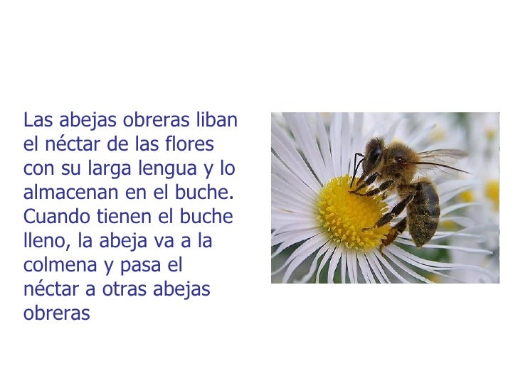 Las abejas obreras libanel néctar de las florescon su larga lengua y loalmacenan en el buche.Cuando tienen el buchelleno, ...