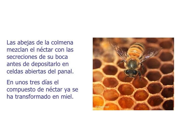 Las abejas de la colmenamezclan el néctar con lassecreciones de su bocaantes de depositarlo enceldas abiertas del panal.En...