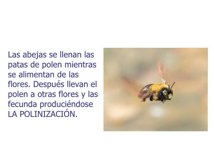 Las abejas se llenan laspatas de polen mientrasse alimentan de lasflores. Después llevan elpolen a otras flores y lasfecun...