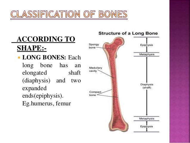 ACCORDING TO SHAPE:-  LONG BONES: Each long bone has an elongated shaft (diaphysis) and two expanded ends(epiphysis). Eg....
