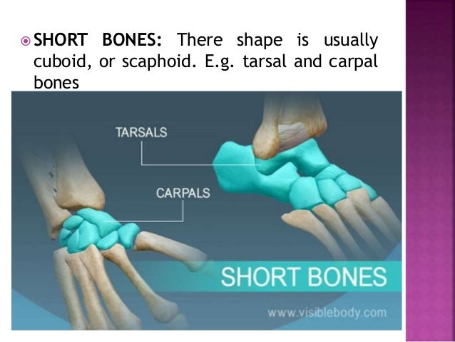  SHORT BONES: There shape is usually cuboid, or scaphoid. E.g. tarsal and carpal bones