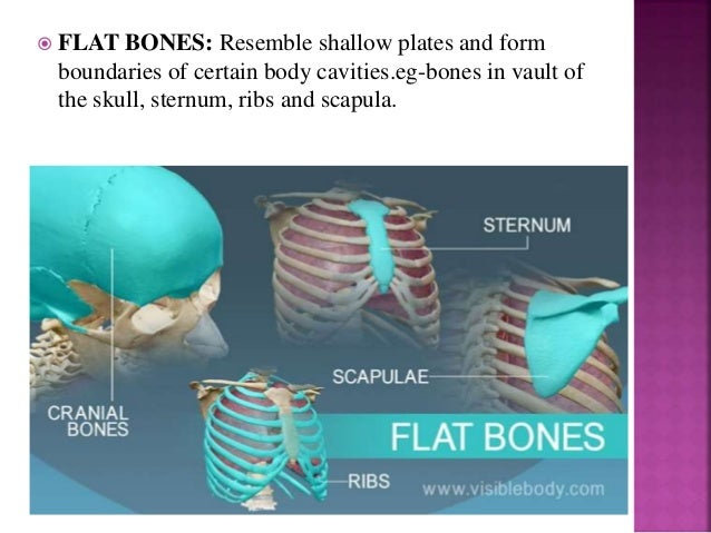  FLAT BONES: Resemble shallow plates and form boundaries of certain body cavities.eg-bones in vault of the skull, sternum...