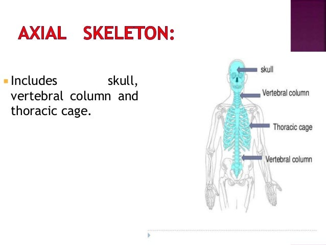 COMPACT BONE  Dense in texture .  Extremely rigid.  Developed in the cortex of long bones. CANCELLOUS OR SPONGY OR TRAB...