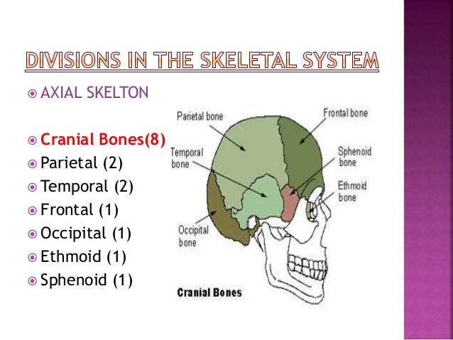  Vertebral Column(26)  Cervical vertebrae (7)  Thoracic vertebrae (12)  Lumbar vertebrae (5)  Sacrum (1)  Coccyx (1)