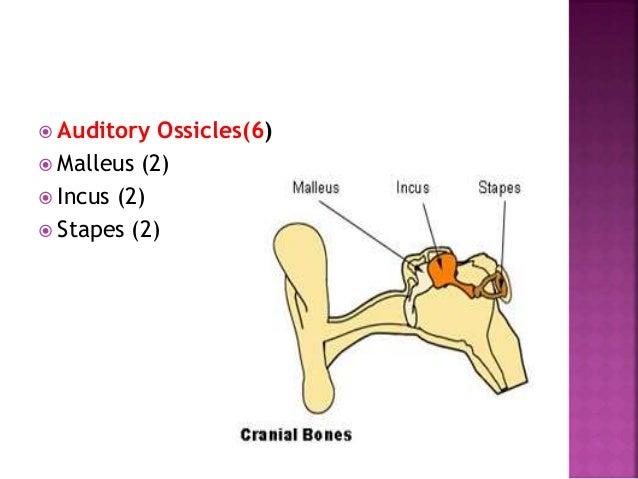  Pectoral girdles  Clavicle (2)  Scapula (2)