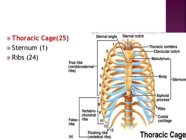  Lower Extremity  Femur (2)  Tibia (2)  Fibula (2)  Patella (2)  Tarsals (14)  Metatarsals (10)  Phalanges (28)