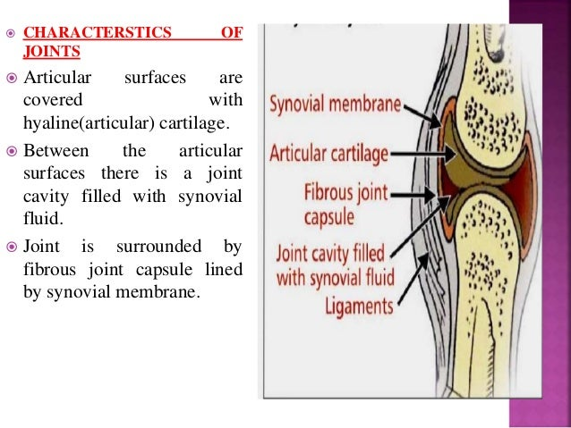  Bones are joined by fibrous tissue.  Joints are either immovable or permit a slight degree of movement.  These can be ...