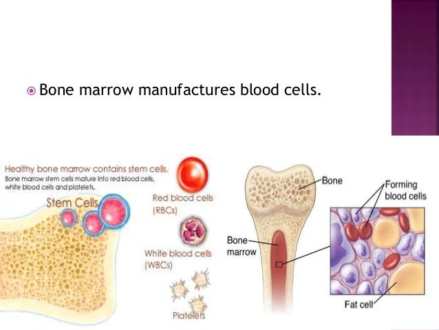  Bone marrow manufactures blood cells.