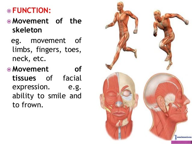  Function:  Pumping of blood through the heart: Alternate contraction and relaxation of cardiac muscle.