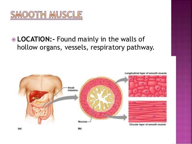  Muscle fibers  Epimysium  Fascicles  Perimysium  Endomysium.  Tendon Skeletal muscle fiber (cell) endomysium perimy...