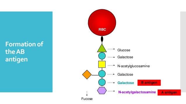 Formation of theAB antigen Glucose Galactose N-acetylglucosamine Galactose RBC Fucose Galactose B antigen N-acetylgalactos...