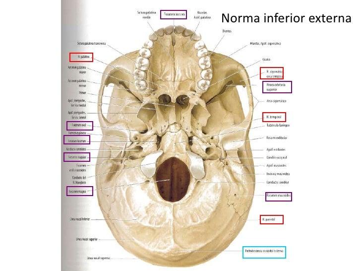 Huesos y normas del cráneo