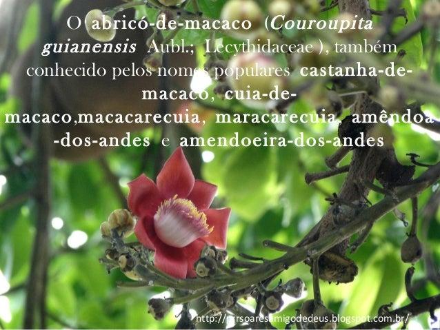 Oabricó-de-macaco(Couroupita guianensis Aubl.;Lecythidaceae ), também conhecido pelos nomes popularescastanha-demacac...